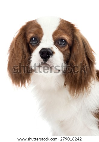 closeup vertical portrait pure-bred dog, puppy Cavalier King Charles Spaniel, lie on white background, isolated - stock photo