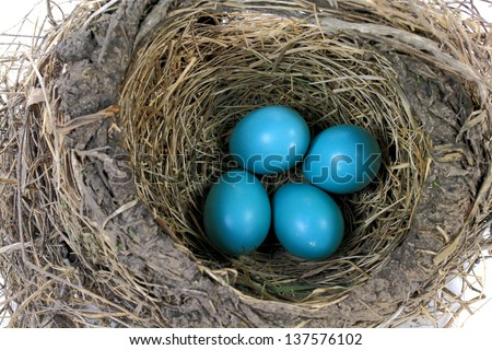 Closeup view Nest of Robin bird with Eggs inside built from Dry Grass, Twigs, Straws and Mud.