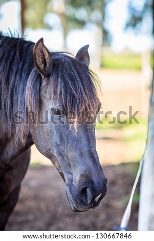 Closeup view of a black male horse - stock photo