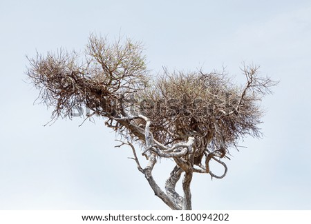 Closeup view of a cheetah and prey on the tree - stock photo