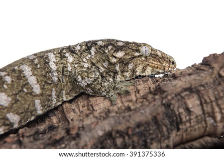 Closeup view of a giant gecko (rhacodactylus leachianus) clinging to a log, isolated against a white background.