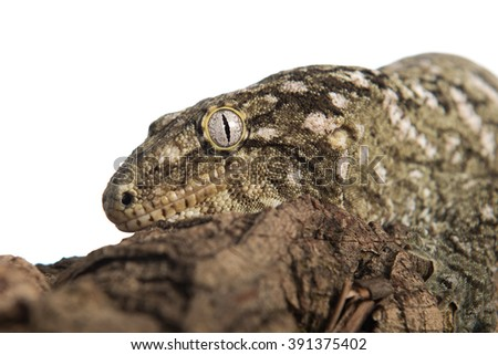 Closeup view of a large gecko clinging to a log, isolated against a white background. - stock photo