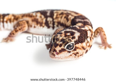 Closeup view of a Leopard Gecko shot on white - stock photo