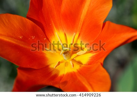 Closeup view of a tulip. Fresh spring flowers.