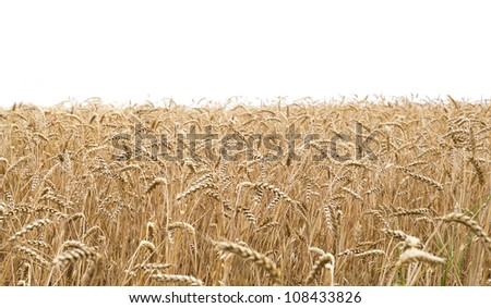 Closeup view of a wheat field and white background on the top - stock photo