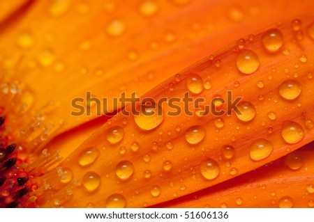 Closeup view of an orange gerbera with water droplets.  Part of a series