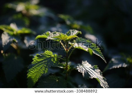 Closeup view of beautiful fresh bright green lush spring young nettle plant with leaves in sunny warm weather morning on natural background, horizontal picture - stock photo