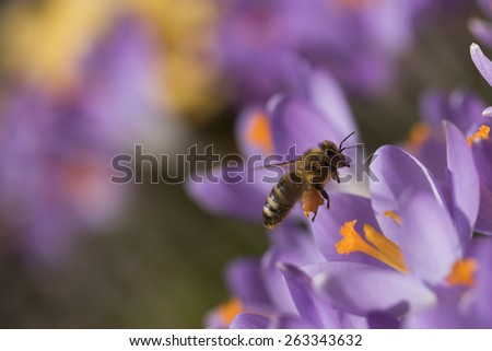 Closeup view of bee arriving to the group of flower violet crocus (saffron). Pollen it has accumulated on the legs. - stock photo