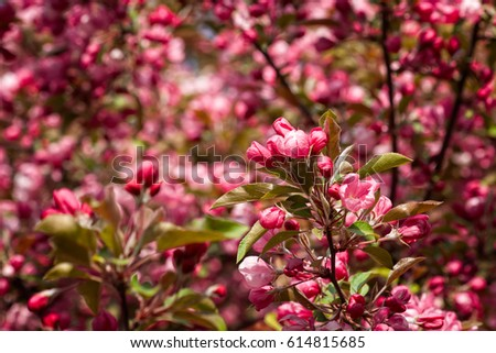 Closeup view crabapple tree bloom clusters stock photo edit now closeup view of crabapple tree in bloom clusters or bunches of pink flowers stylized mightylinksfo