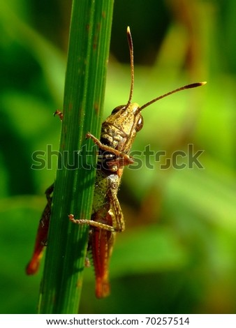 Closeup view of grasshopper on green background - stock photo