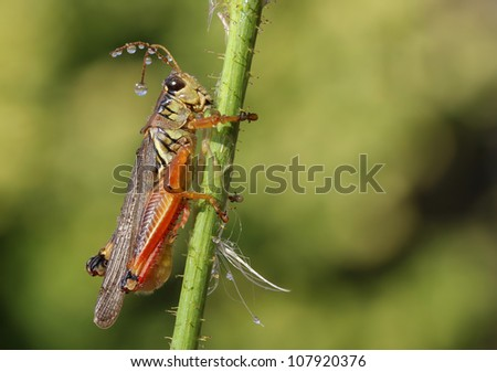 Closeup view of grasshopper with water drops, green background