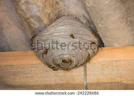 Closeup view of wasps and huge nest below asbestos roof - stock photo