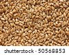 Closeup wheat grains. In a bright sunlight. - stock photo