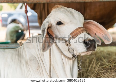 Closeup white brahman cow,breed - stock photo