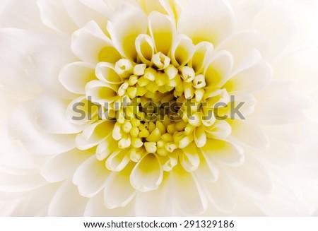 Closeup White Chrysanthemum Flower as Background Uses. - stock photo