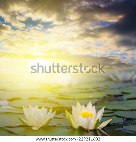 closeup white lilies on a lake at the sunset - stock photo