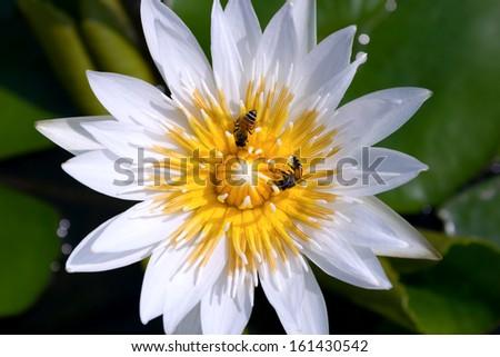 Closeup white lotus and bees - stock photo