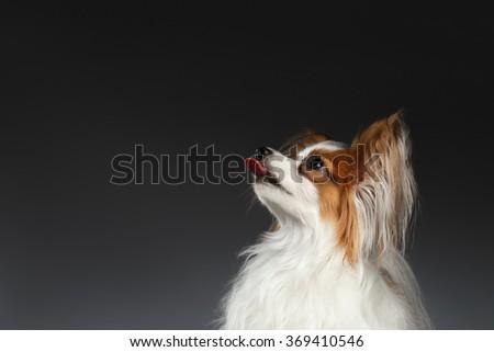 Closeup White Papillon Dog showing tongue on black background - stock photo