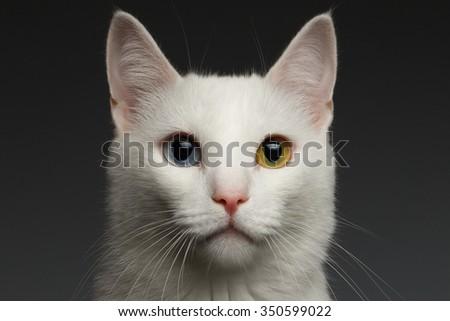 Closeup White Turkish Angora Cat with heterochromia eyes on gray background - stock photo