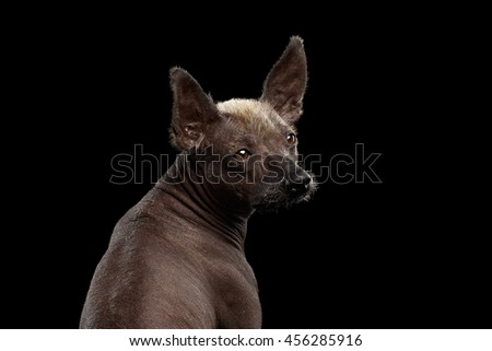 Closeup Xoloitzcuintle - hairless mexican dog breed Looking back, on Isolated Black background, Sad eyes - stock photo