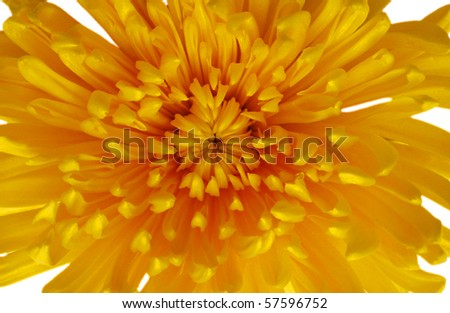 closeup yellow chrysanthemum daisy