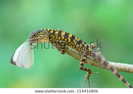 Closeup yellow crested lizard perched on branch with butterfly.