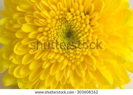 Closeup yellow Mum flower - stock photo