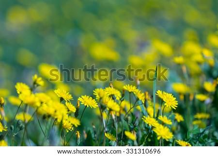 closeup yellow prairie flowers - stock photo