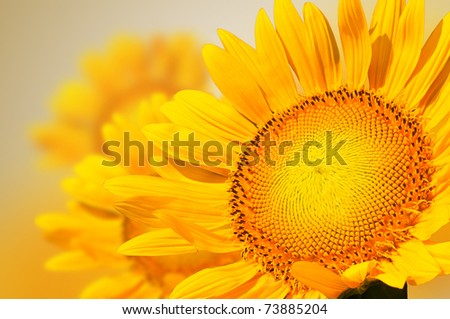 Closeup yellow sunflower petal - stock photo