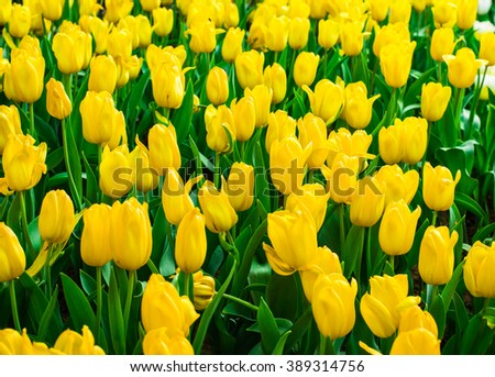 closeup Yellow tulips flower field blooming in the garden.beautiful tulips flower background. - stock photo