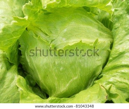 Closeup young cabbage of background
