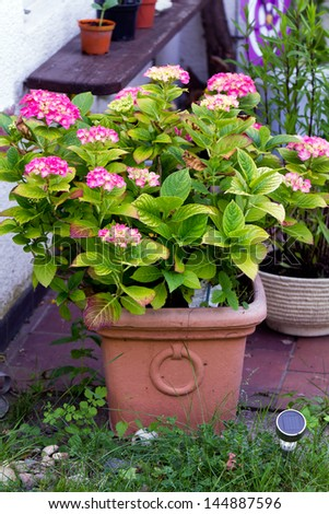 Closup of Assorted Pink Hydrangeas in the Garden - stock photo