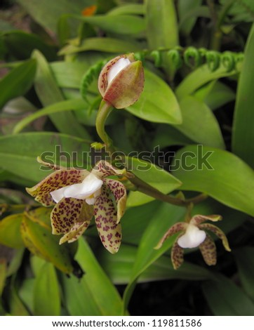 cloud forest orchid, Ecuador - stock photo