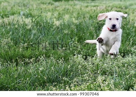 Cloud, 7 week old English Cream Labrador-Golden Retriever mixed designer breed puppy,  running and playing in a field. Extreme shallow depth of field. - stock photo