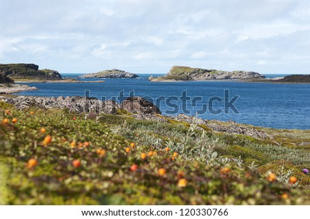 Cloudberries on the coast of the Barents Sea - stock photo