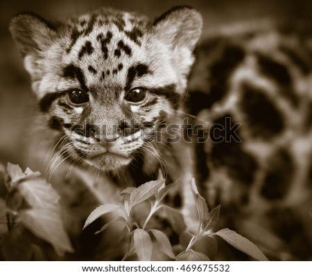 clouded leopard sepia