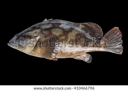 Cloudy Grouper,Sea Bass, Rockcods, Cods, Hinds, Trouts, Cloudy Rock Cod, Spotted Grouper and Spotted Rock Cod/fish isolated on black background  - stock photo