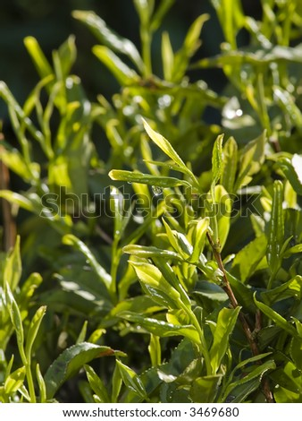 clouse up of tea plants with drop water - stock photo