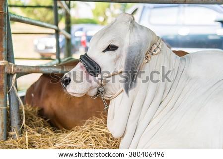 Clouseup white brahman cow,breed,korat,thailand - stock photo