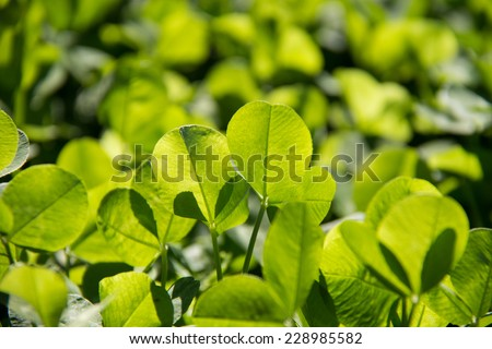 Clover - stock photo
