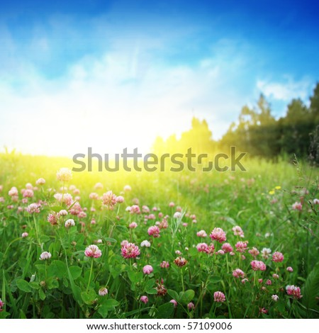 Clover field,blue sky and sun. - stock photo