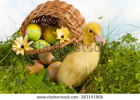 Clover field with yellow easter duckling and a basket with easter eggs - stock photo