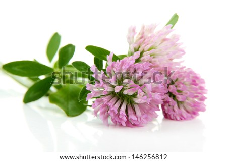 Clover flowers isolated on white