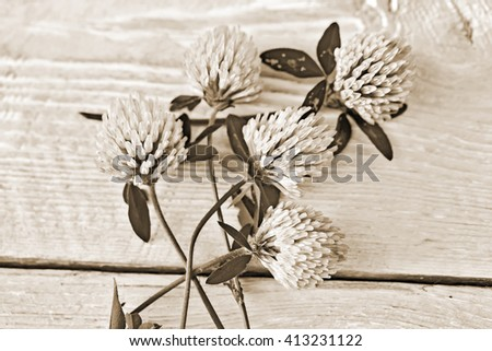 clover flowers on white background. Old style sepia. - stock photo