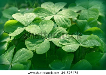 Clover in meadow - clover leaves - stock photo