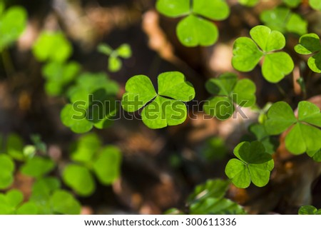 Clover leafs in the forest of the Ardennes, Belgium