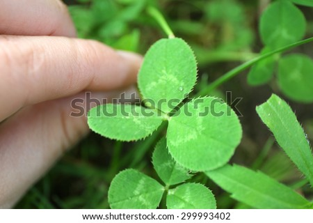 Clover leaves, closeup - stock photo