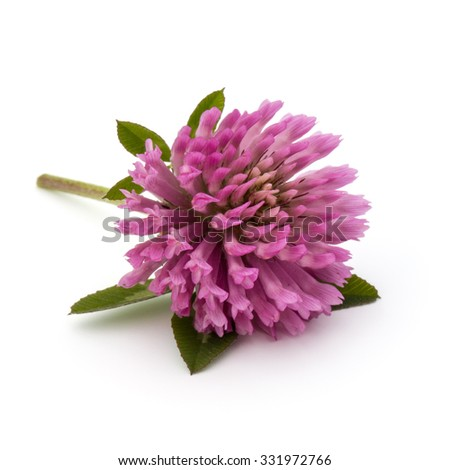 Clover or trefoil flower medicinal herbs isolated on white background cutout - stock photo