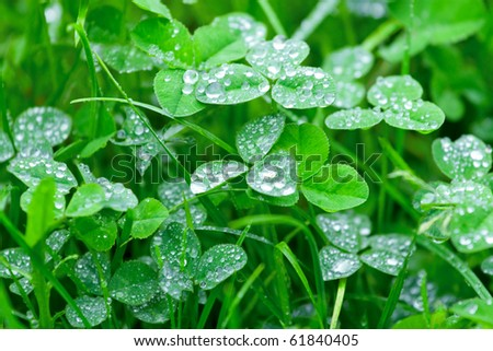 Clover with a dew drops on it - stock photo