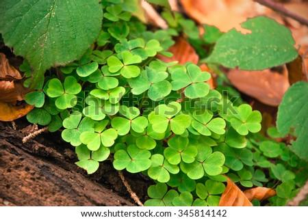 clovers - stock photo